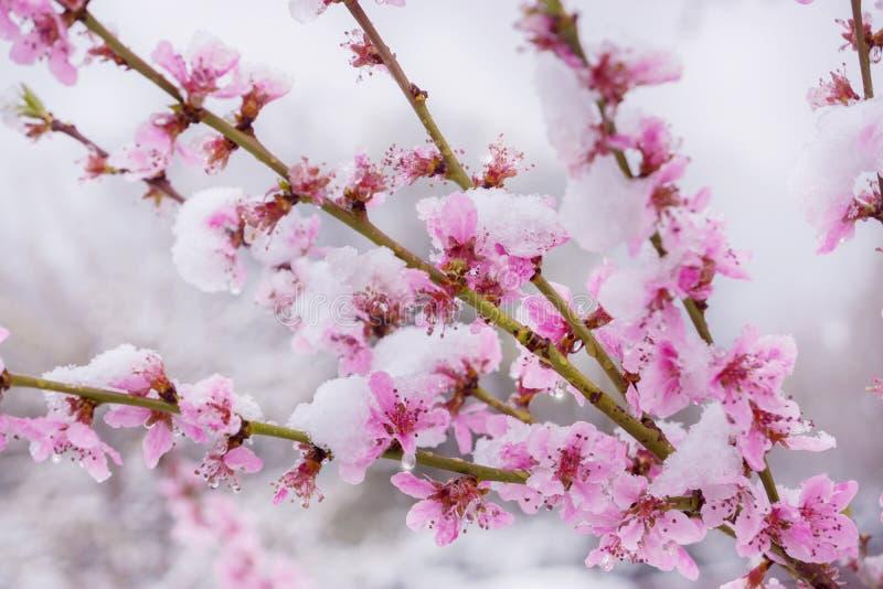 Χειμερινό κατρακύλισμα, χιόνι στο άνθος ροδάκινων την άνοιξη στοκ εικόνες με δικαίωμα ελεύθερης χρήσης