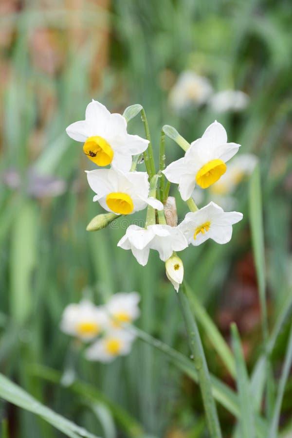 """Χειμερινό λουλούδι """"νάρκισσοι """" στοκ εικόνα"""