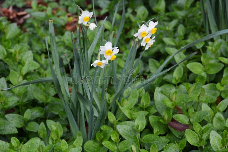 """Χειμερινό λουλούδι """"νάρκισσοι """" στοκ φωτογραφία"""