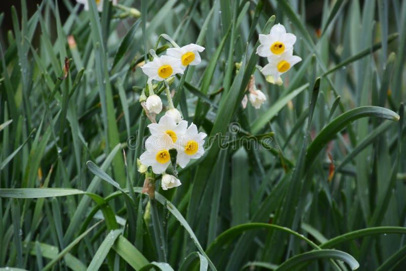 """Χειμερινό λουλούδι """"νάρκισσοι """" στοκ φωτογραφίες"""