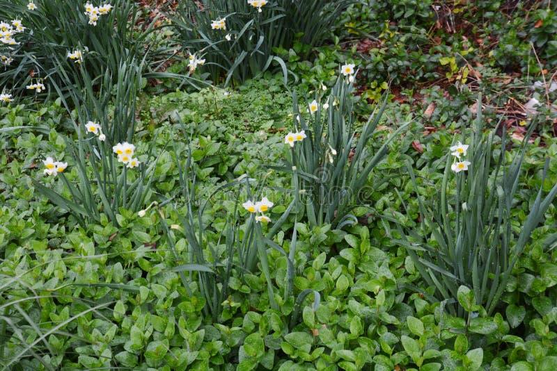 """Χειμερινό λουλούδι """"νάρκισσοι """" στοκ εικόνα με δικαίωμα ελεύθερης χρήσης"""