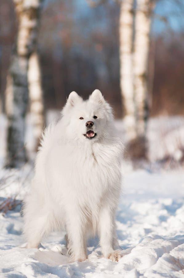 Χειμερινό πορτρέτο σκυλιών Samoyed στοκ φωτογραφίες