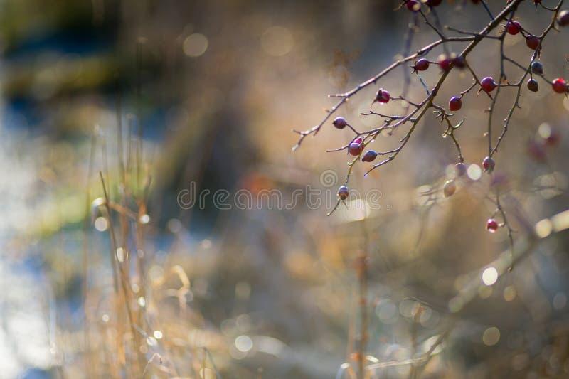 Χειμερινό πρωί υποβάθρου ροδαλών ισχίων στοκ εικόνα με δικαίωμα ελεύθερης χρήσης