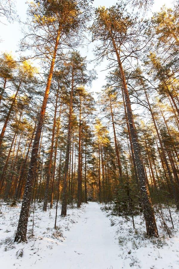 Χειμερινό τοπίο του piny ξύλου στην Καρελία στοκ φωτογραφίες με δικαίωμα ελεύθερης χρήσης