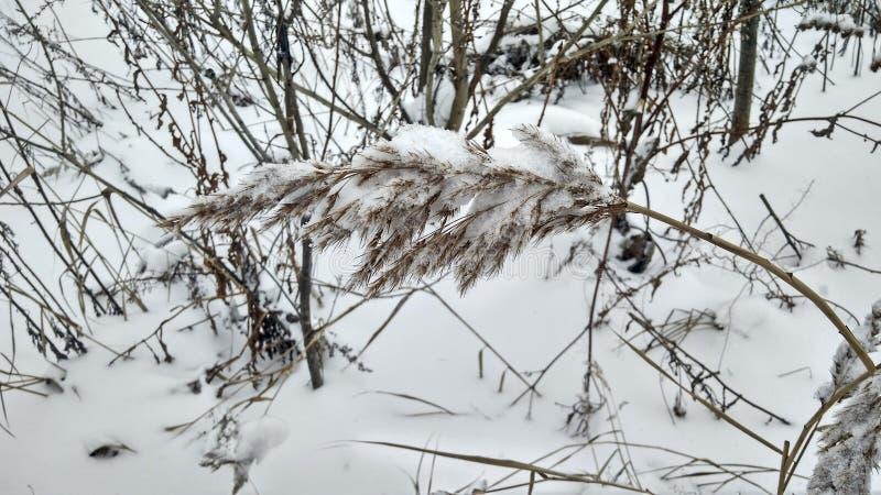 Χειμερινό τοπίο - χιονισμένη ακίδα των καλάμων στοκ φωτογραφία με δικαίωμα ελεύθερης χρήσης