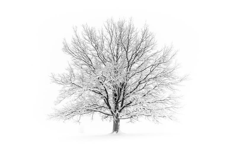 χειμώνας δέντρων εικόνας σχεδίου Μεγάλο decidious δέντρο στο σαφές άσπρο χιονώδες τοπίο Misty και freezy ημέρα στοκ φωτογραφία με δικαίωμα ελεύθερης χρήσης