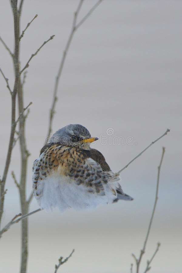 χειμώνας κεδροτσιχλών στοκ φωτογραφίες με δικαίωμα ελεύθερης χρήσης