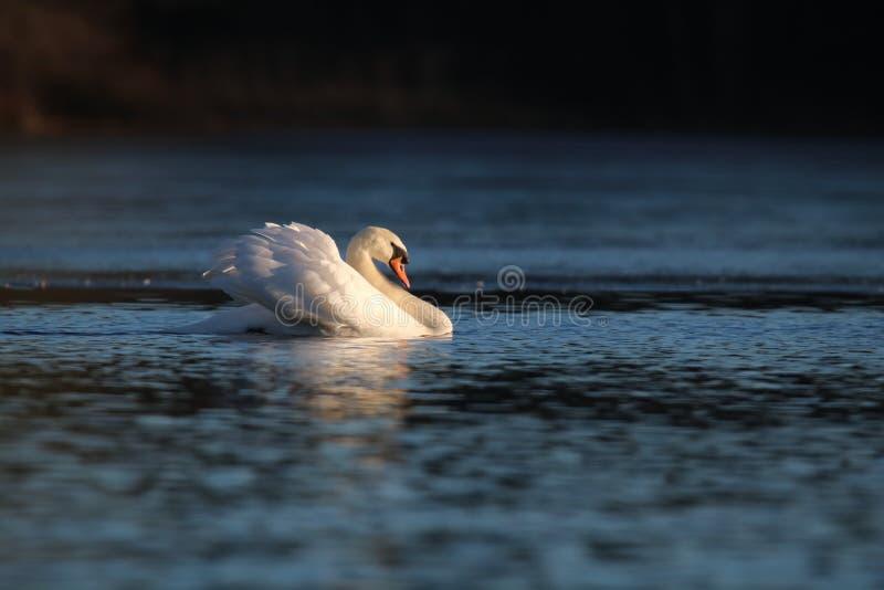 Χειμώνας ο βουβός Κύκνος στη στάση απειλής σε μια μπλε λίμνη στοκ φωτογραφία με δικαίωμα ελεύθερης χρήσης