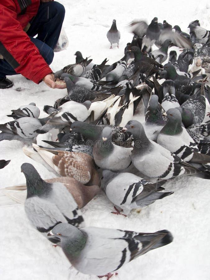 χειμώνας περιστεριών σίτι&sig στοκ φωτογραφία με δικαίωμα ελεύθερης χρήσης