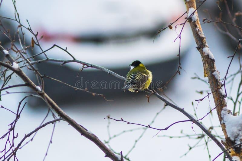 Χειμώνας πουλιών Titmouse στοκ εικόνες