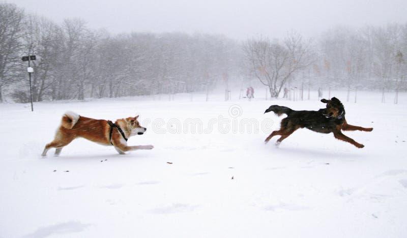 χειμώνας σκυλιών akita στοκ εικόνες
