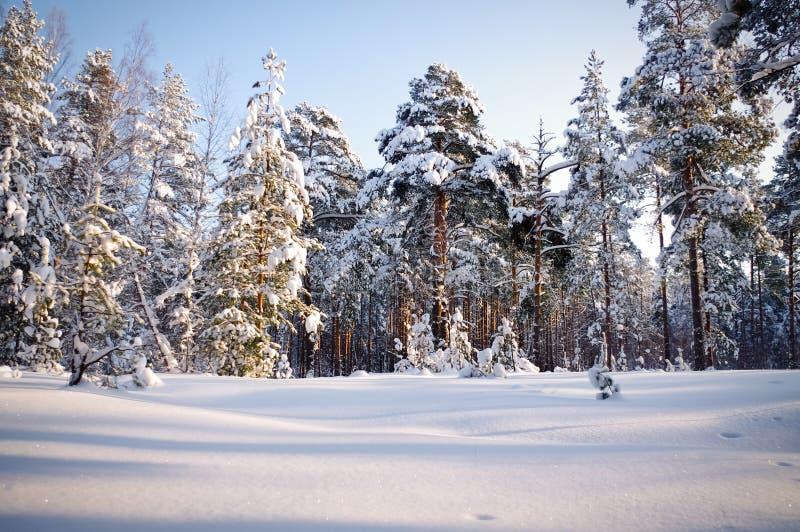 Χειμώνας στα δασικά πεύκα πεύκων που τυλίγονται στο χιόνι στοκ φωτογραφία