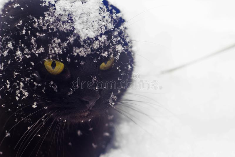 Χειμώνας χιονιού γατών, παγετός, βρετανική γάτα στο χιόνι, μαύρη γάτα, πάνθηρας στοκ φωτογραφίες με δικαίωμα ελεύθερης χρήσης
