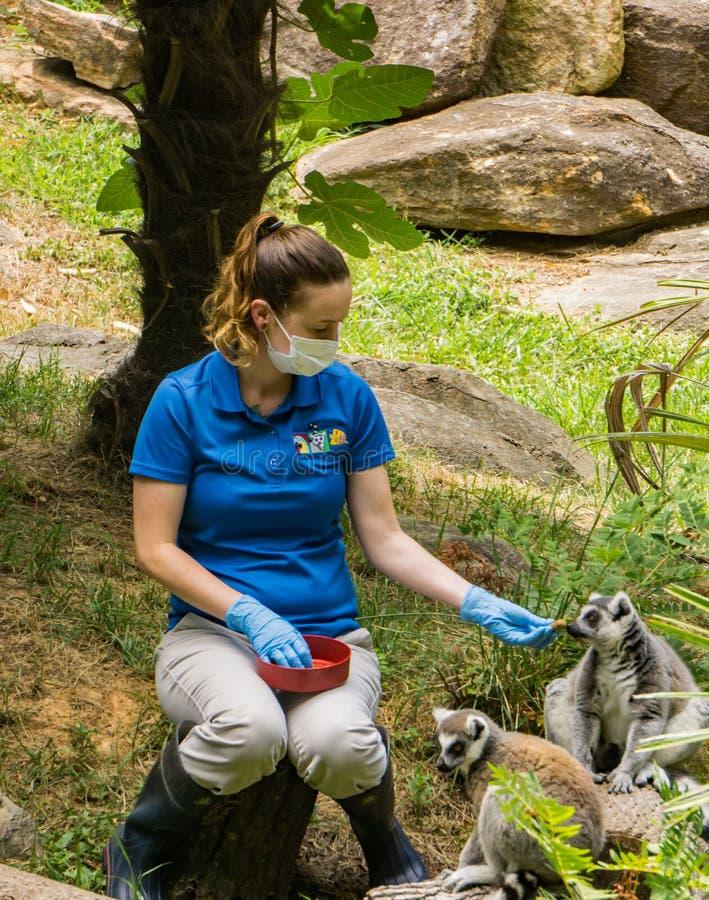 Χειριστής και δύο δαχτυλίδι-παρακολουθημένος κερκοπίθηκος - catta κερκοπιθήκων στοκ εικόνες