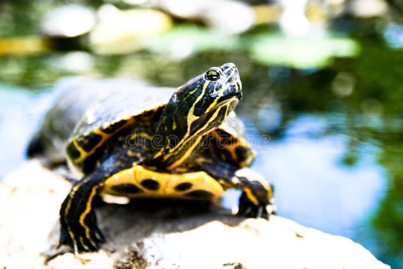 χελώνα ήλιων κάτω στοκ φωτογραφία