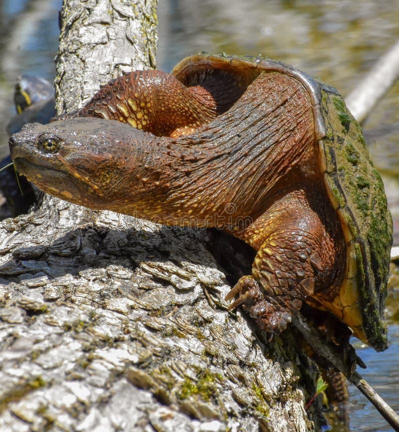 Χελώνα αγώνα στο κούτσουρο στοκ φωτογραφίες
