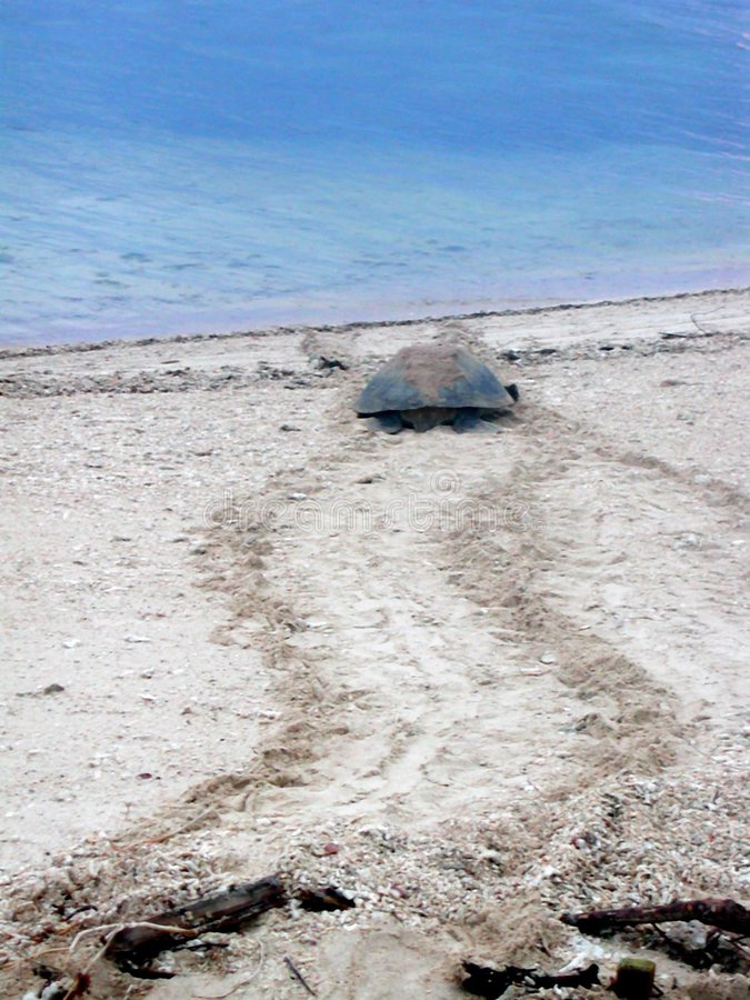 χελώνα διασταύρωσης στοκ φωτογραφία
