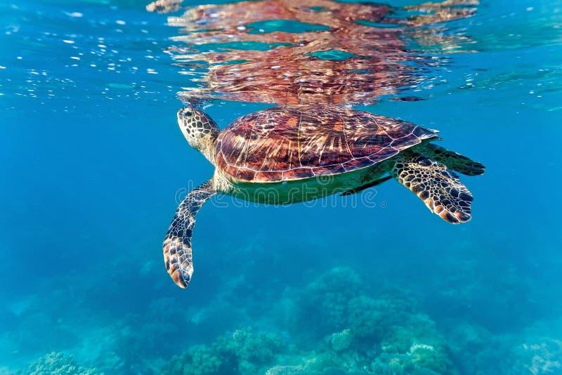 Χελώνα θάλασσας στην κοραλλιογενή ύφαλο στοκ φωτογραφία