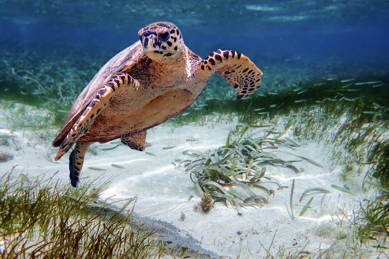 Χελώνα θάλασσας Hawksbill που κολυμπά σε Ινδικό Ωκεανό στις Μαλδίβες στοκ εικόνα με δικαίωμα ελεύθερης χρήσης