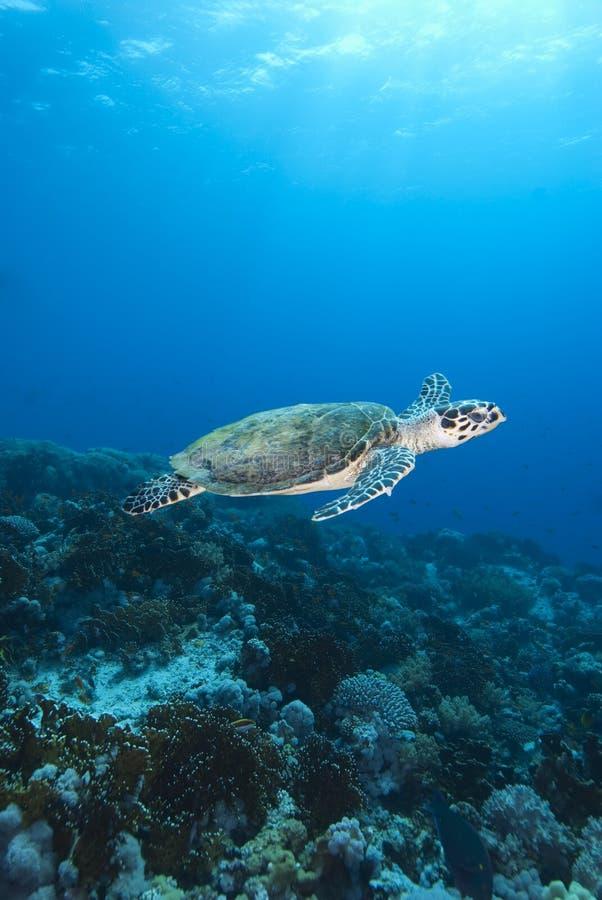 Χελώνα θάλασσας Hawksbill στοκ φωτογραφίες με δικαίωμα ελεύθερης χρήσης