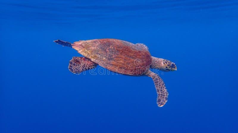 Χελώνα θάλασσας Hawksbill, imbricata Eretmochelys Μπλε υπόβαθρο νερού, Raja Ampat στοκ εικόνα