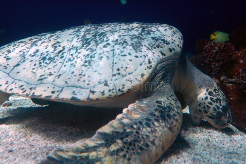Χελώνα και καρχαρίας θάλασσας που κολυμπούν στο βαθύ ωκεανό στοκ εικόνες