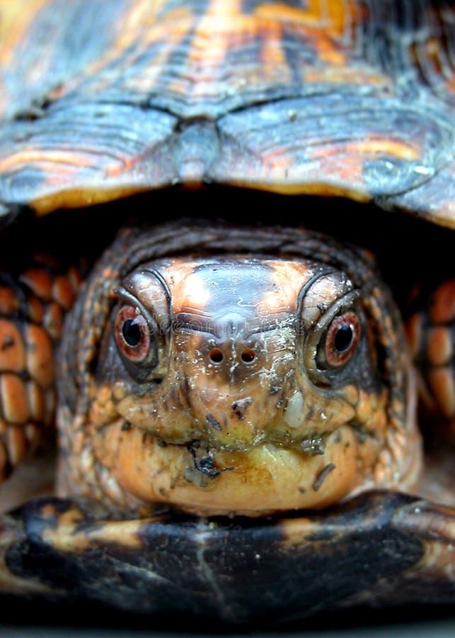 χελώνα κιβωτίων