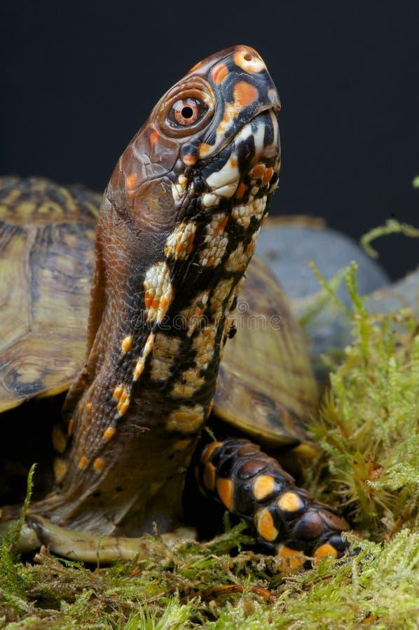 Χελώνα κιβωτίων στοκ εικόνες