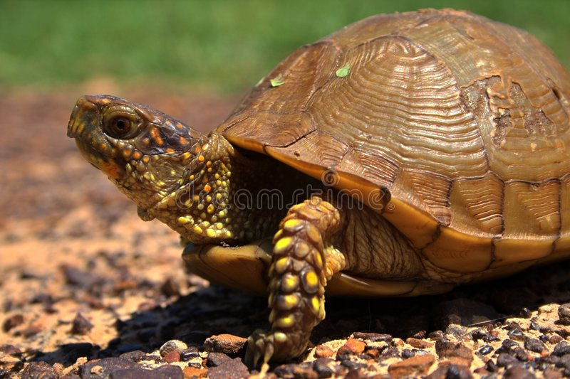 χελώνα κιβωτίων στοκ φωτογραφίες με δικαίωμα ελεύθερης χρήσης