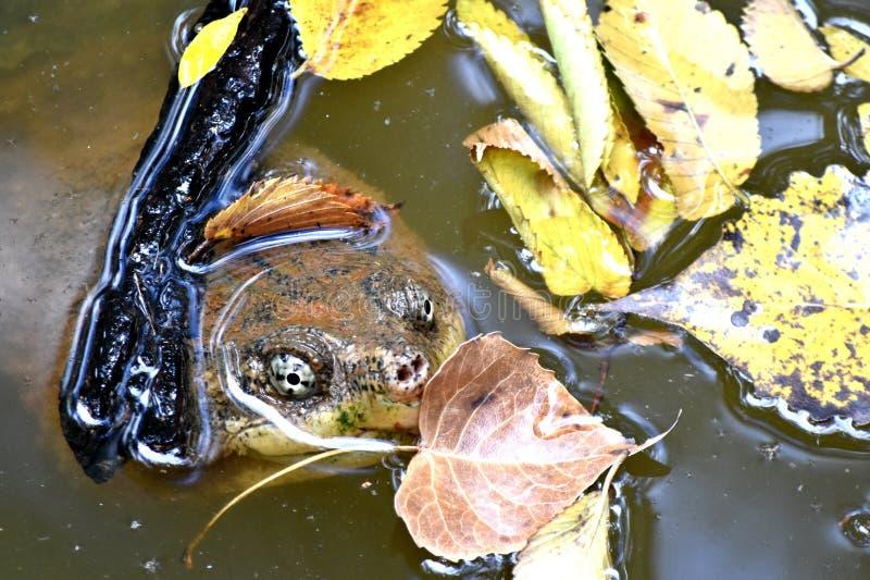 Χελώνα, κοινή θραύση, στην πόλη CenterOklahoma φύσης πάρκων του Martin στοκ εικόνα