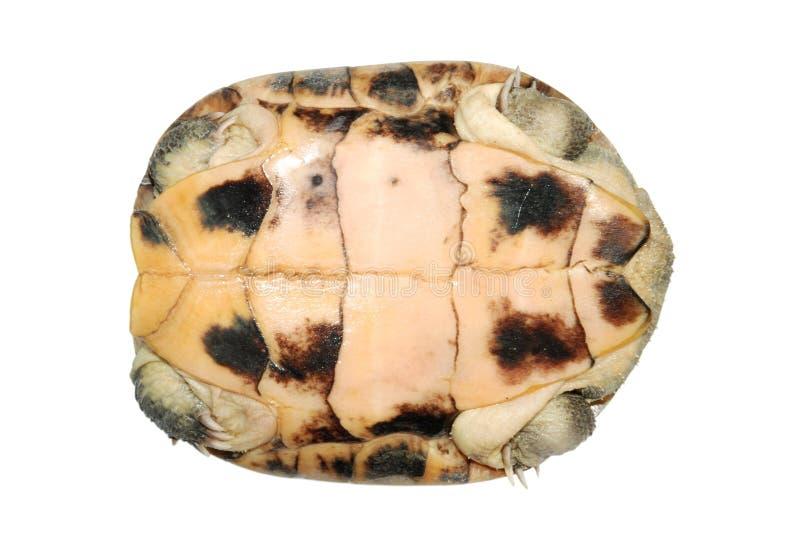 χελώνα κοχυλιών στοκ εικόνες