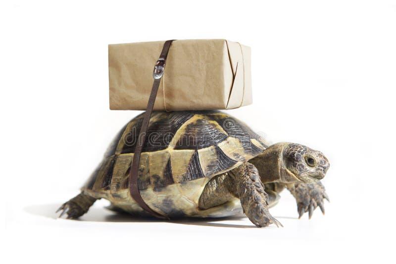 Χελώνα με κουτί μεταφοράς στο πίσω μέρος, απομονωμένη σε λευκό Έννοια της παράδοσης στοκ εικόνα