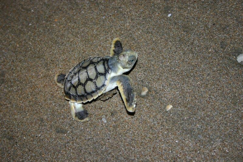 χελώνα μωρών στοκ εικόνες με δικαίωμα ελεύθερης χρήσης