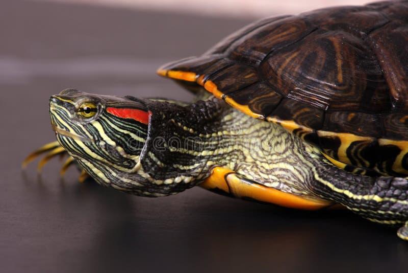 χελώνα πορτρέτου στοκ εικόνες με δικαίωμα ελεύθερης χρήσης