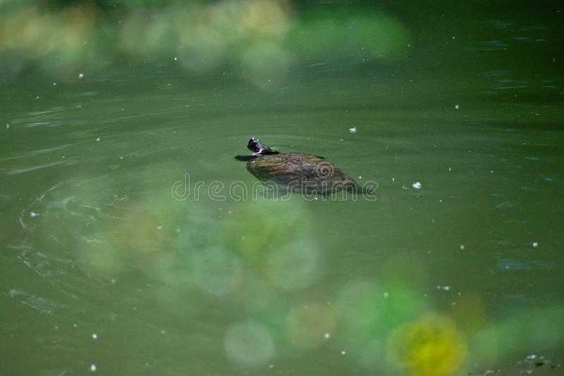 Χελώνα που κολυμπά στο νερό στοκ εικόνες
