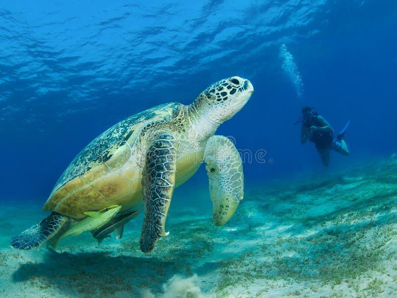 Χελώνα πράσινης θάλασσας σε ένα λιβάδι χλόης θάλασσας στοκ φωτογραφία με δικαίωμα ελεύθερης χρήσης
