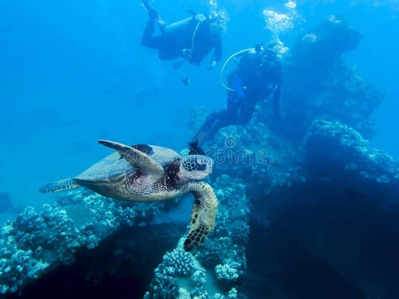 Χελώνα πράσινης θάλασσας στον της Χαβάης ωκεανό με τους δύτες πέρα στοκ εικόνες