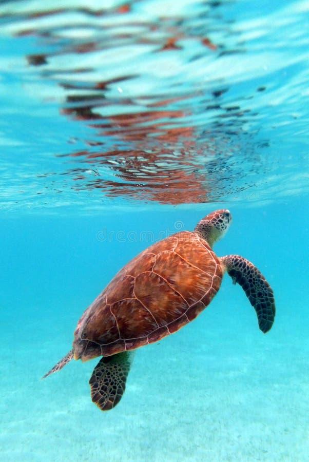 χελώνα πράσινης θάλασσας στοκ φωτογραφίες με δικαίωμα ελεύθερης χρήσης