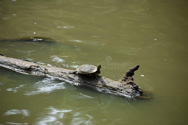Χελώνα σε ένα κούτσουρο στοκ φωτογραφία με δικαίωμα ελεύθερης χρήσης