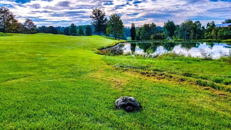 Χελώνα στο γκολφ κλαμπ στοκ εικόνα