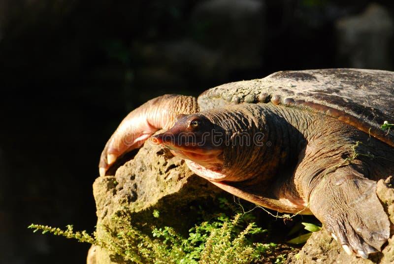 χελώνα της Φλώριδας softshell στοκ φωτογραφία