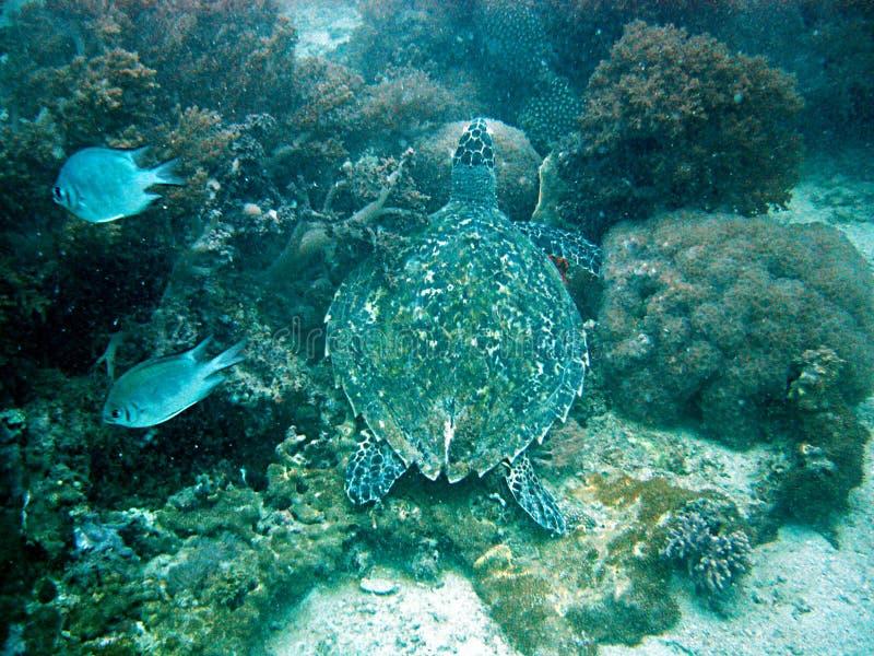 χελώνα υποβρύχια στοκ εικόνα με δικαίωμα ελεύθερης χρήσης