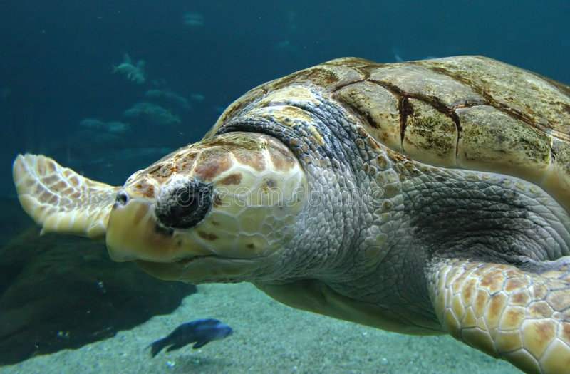 Download χελώνα στοκ εικόνα. εικόνα από θάλασσα, χελώνα, ναυτικό - 61783