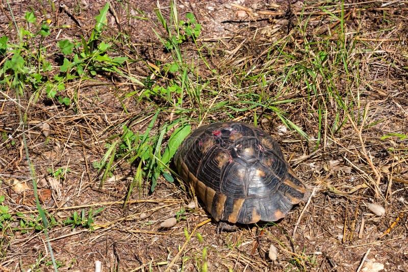 Χελώνα Hermann ` s ή hermanni Testudo στο έδαφος στοκ εικόνα με δικαίωμα ελεύθερης χρήσης