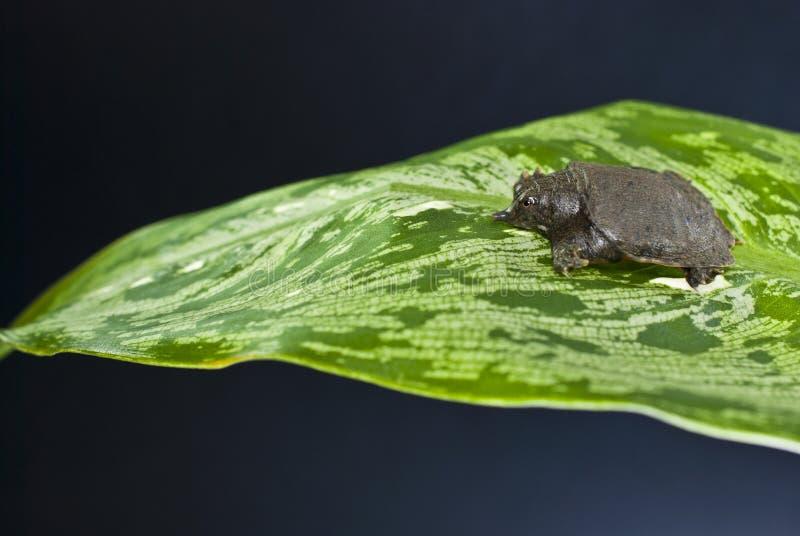 Χελώνα Softshell στοκ εικόνες με δικαίωμα ελεύθερης χρήσης