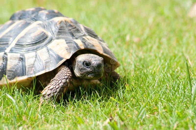 χελώνα testudo hermanni στοκ φωτογραφία με δικαίωμα ελεύθερης χρήσης
