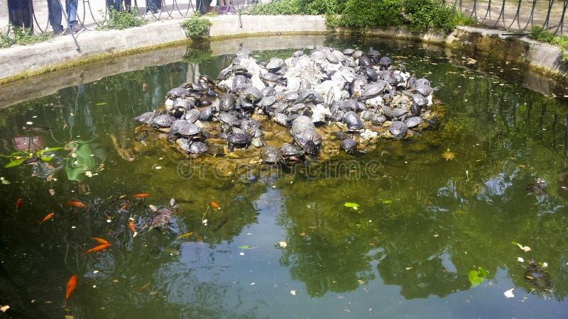 Χελώνες και χρυσά ψάρια σε μια λίβρα στοκ εικόνες με δικαίωμα ελεύθερης χρήσης