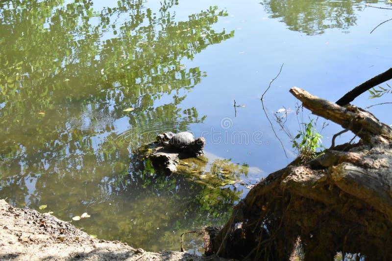 Χελώνες κοντά στην ακτή στοκ εικόνες