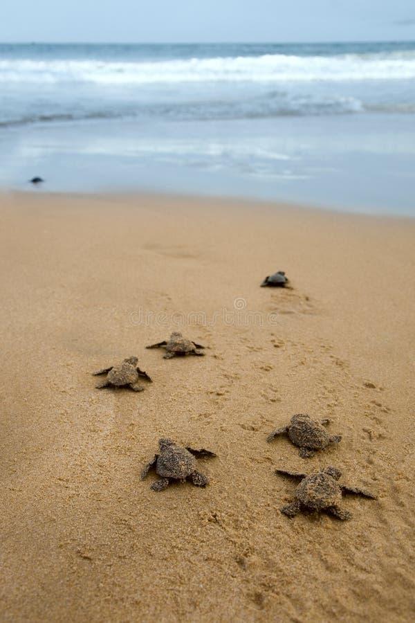Χελώνες μωρών στοκ εικόνες με δικαίωμα ελεύθερης χρήσης