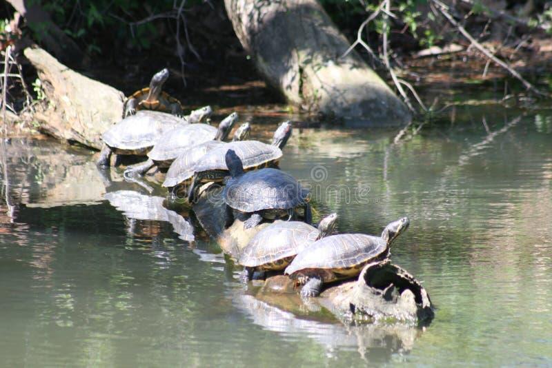 Χελώνες σε ένα κούτσουρο 2019 ΙΙ στοκ εικόνα